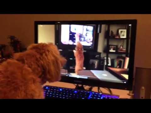 Video: A Dog Barking at Itself Barking at Itself Barking at Itself