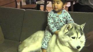 リュウマの遊びに耐える健気なハスキー犬カンロ。