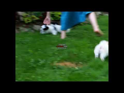 Coton De Tulear Puppies For Sale Elsie King