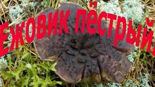 ежовик пёстрый,лечебный гриб