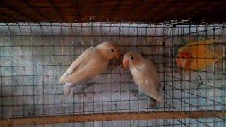 Video Dilute fischer lovebirds download MP3, 3GP, MP4, WEBM, AVI, FLV Juni 2018