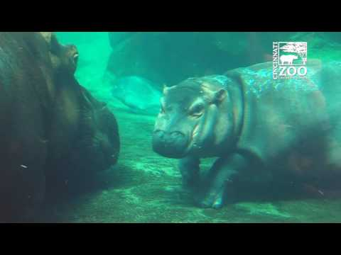 Baby Hippo Fiona and Mom Bibi Outside Together - Cincinnati Zoo