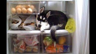 シベリアンハスキー子犬のお気に入りの場所【かわいい】 ハスキー犬なら...