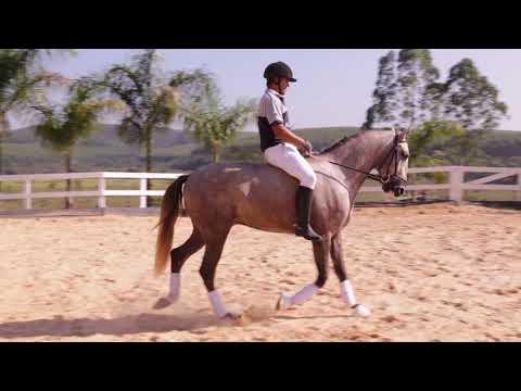 Lote 21 - Neptuno Aguilar - Cavalos puro sangue Lusitanos - Coudelaria aguilar