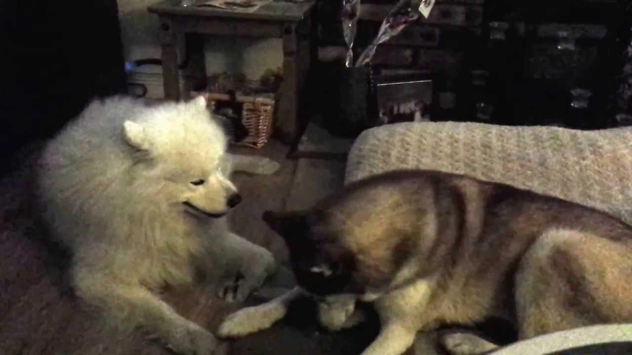 Husky Cuddling A Samoyed Funnydog Tv