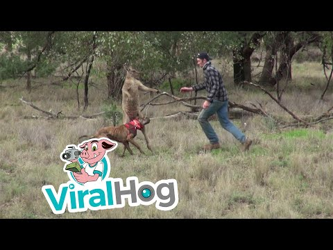 man punches a kangaroo in the face to rescue his dog original hd viralhog
