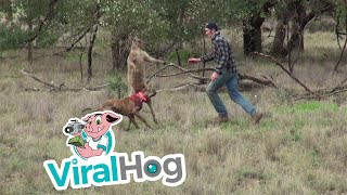Man punches a kangaroo in the face to rescue his dog (Original HD)(Occurred June 15, 2016 / Outback Australia Info from licensor: