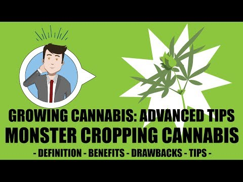 Monster Cropping, Cloning During Flowering Stage - Growing Cannabis 201: Advanced Grow Tips