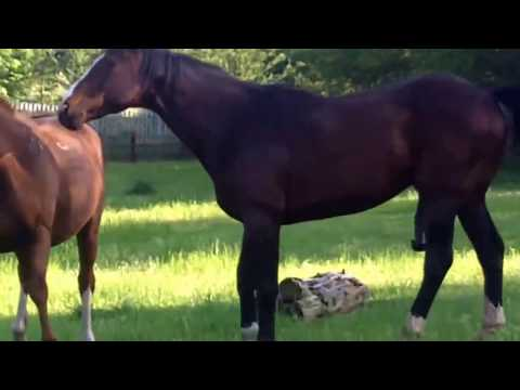 Stallion Covering (mating) A Mare. (Just A Quickie!)