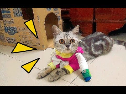 Funny Viral Video Cat Walking In Beauty Queen Costume | Cat In Costumes 2017 [Funny Pets]