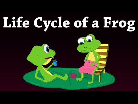 Life Cycle of a Frog | #aumsum #kids #education #lifecycle #frog