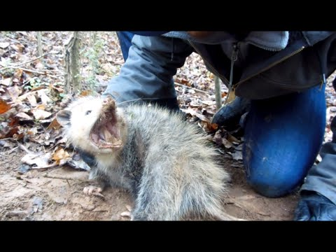 Trapping Opossums - 2015 Quick tips from K.G.