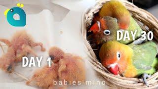 30 Hari Pertumbuhan Anak Lovebird Mino