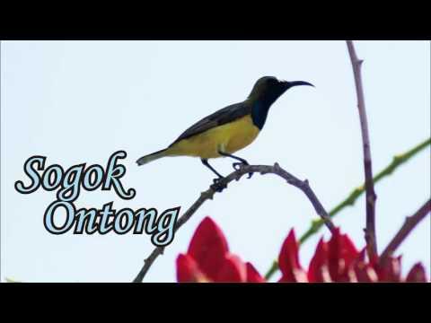 SUARA BURUNG - Suara Burung Sogok Ontong Gacor