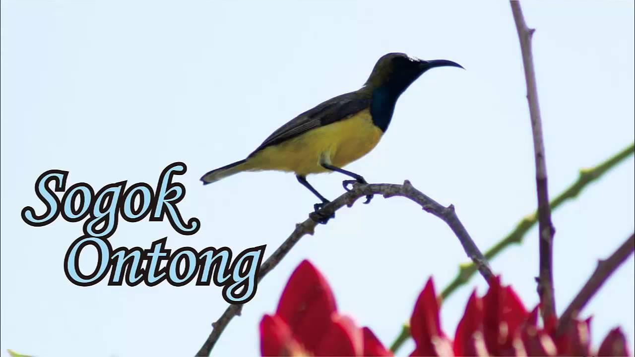 Suara Kolibri Sriganti Untuk Pikat dan Masteran Burung