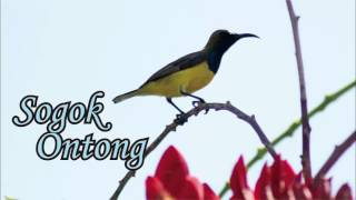 Video SUARA BURUNG - Suara Burung Sogok Ontong Gacor download MP3, 3GP, MP4, WEBM, AVI, FLV Juli 2018