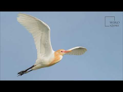 Interesting Facts About Cattle Egret By Weird Square