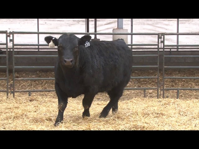 Schiefelbein Angus Farms Lot 330