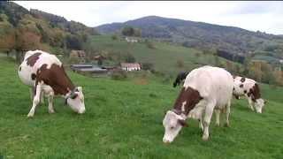 Traite robotisée : à la Bohle, les éleveurs disent oui, les vaches aussi