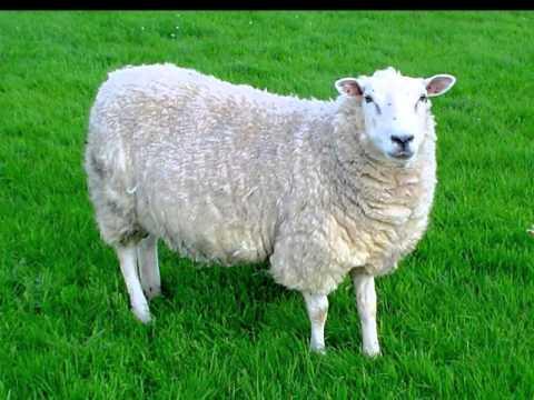 نتيجة بحث الصور عن כבשה