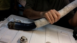 Scientists study their first giant shipworm