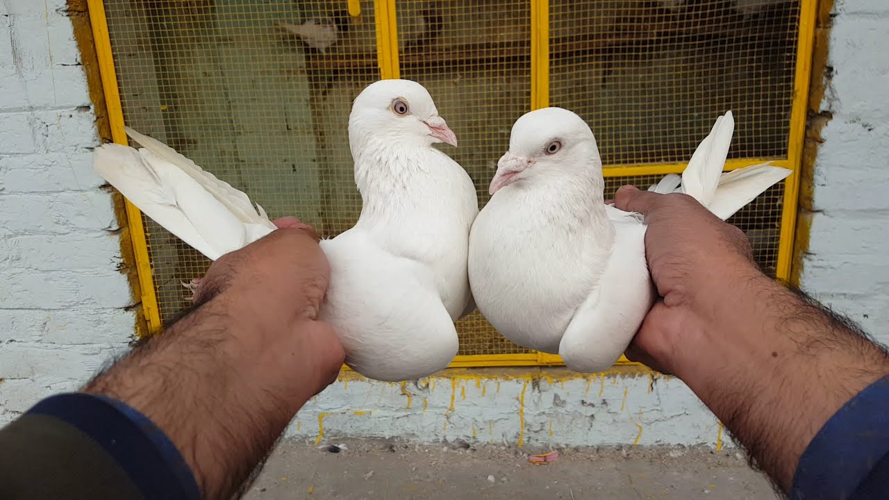 White High flyer Kabootar Ka Shok || Hashim Mahmood Pigeons