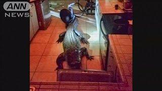 住宅に侵入したのは・・・巨大ワニ! 台所で大暴れ(19/06/03)