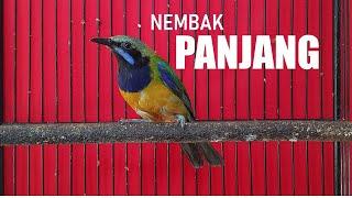 Download Lagu Cucak Cungkok Ngebern: Apapun burungnya PASTI JUARA Kalau kemasukan TEMBAKAN Cucak Cungkok ini mp3