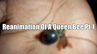 Reanimation a dead Queen Bee pt.1 Realization of raising the dead