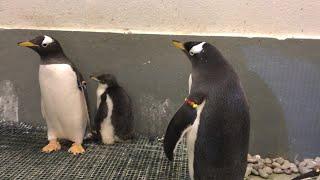 Meet Iggy: Pittsburgh Zoo's 1-month-old Gentoo penguin