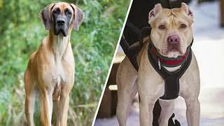 Top 10 Great Dane Cross Breeds | Fabulous Dog Breeds