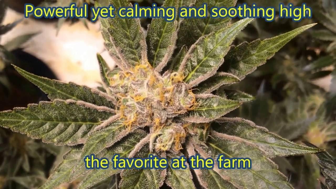 King Cake - 4000 watt medical grow - Indica dominant marijuana