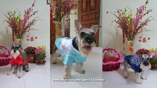Doggies in Chinese New Year costumes
