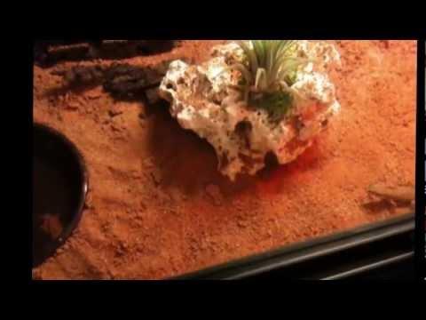 Tropiocolotes Tripolitanus bei der Fütterung