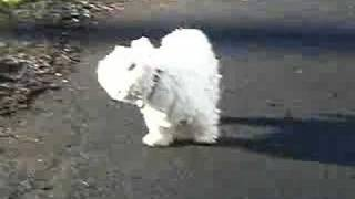 Scamps Walking With Westie Lung Disease