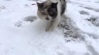 Luna/Луна/персидская короткошерстная кошка
