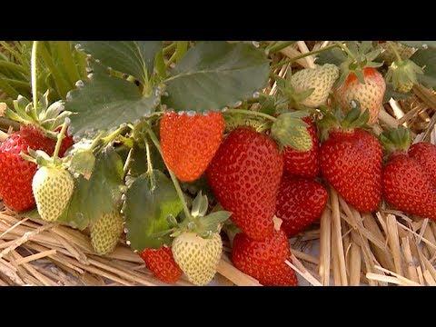 Клубника круглый год: краснодарский фермер собирает новый урожай