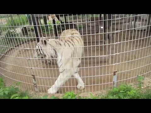 Bengal And Siberian Tigers Special Memories Zoo Greenville, WI 6-18-17