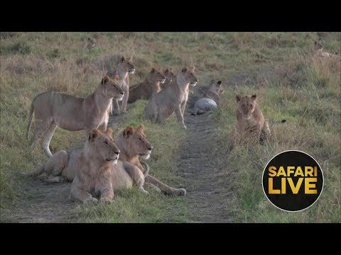 safariLIVE - Sunrise Safari - November 14, 2018