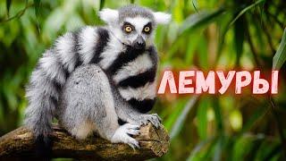 Лемуры. Удивительные животные из Мадагаскара. Все о короле Джулиане и не только