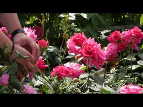 Розы флорибунда.Особенности, посадка, укрытие, обрезка.