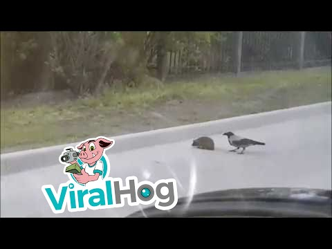 a crow and a hedgehog in the middle of the road