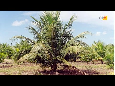 Clique e veja o vídeo Curso a Distância Adubação do Coqueiro Anão
