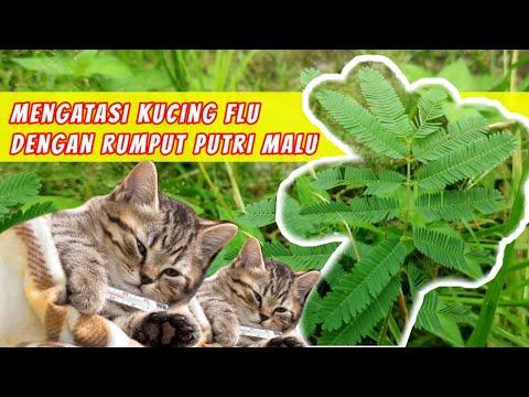 obat-herbal-untuk-kucing-flu-dan-demam---rumput-putri-malu
