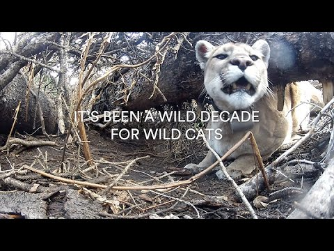 A Decade Of Wild Cat Conservation Accomplishments