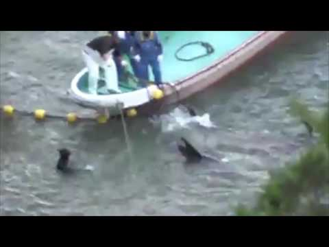 Taiji Japan 08th December 2016: 30+ Pilot whales were slaughtered - Cruelty....