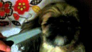 Shihtzu Dog Attacks Comb