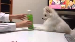 娘とポメラニアンがペットボトルで遊んでます。