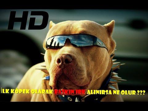 Pitbull Hakkında Bilgiler ➤ İlk köpek...