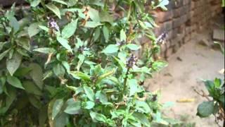 Diabetes Herbs. 190A. Artemisia sp. © Pankaj Oudhia